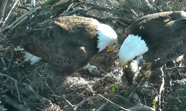 american eagle foundation_129717