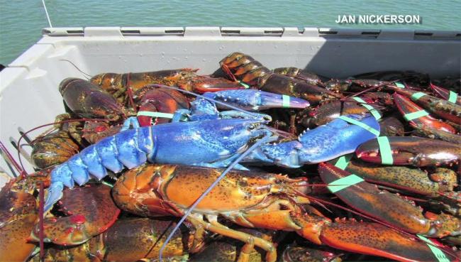 blue-lobster-cnn_170096