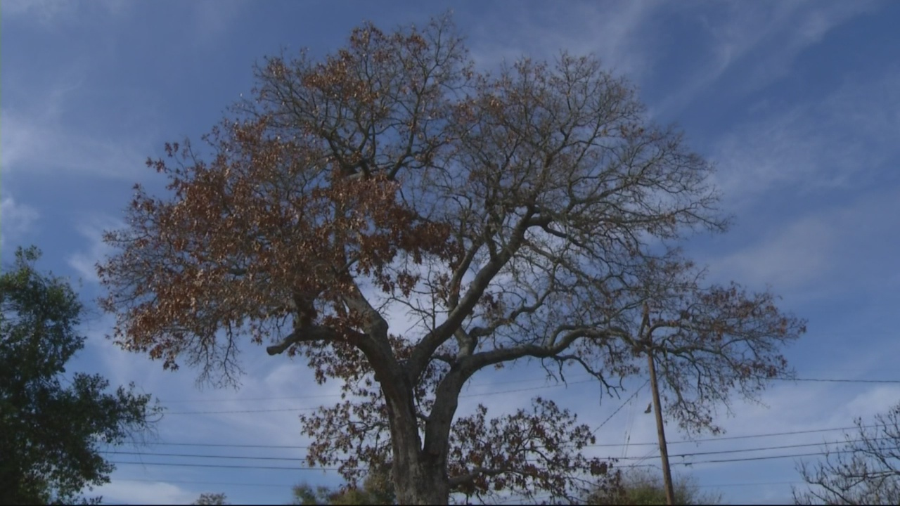 Augusta tree in the running as state champion