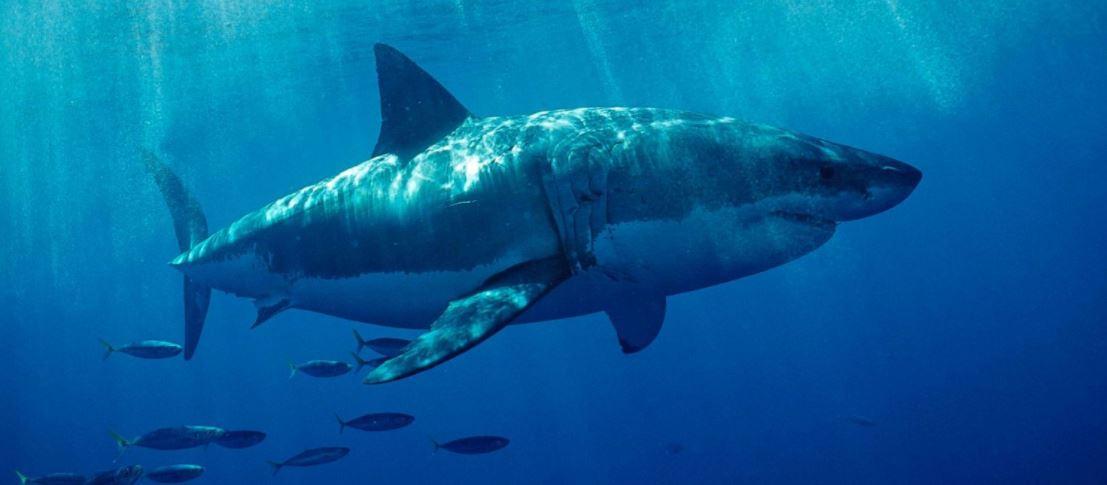Great white shark photo_281248