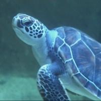 sea turtle_282511