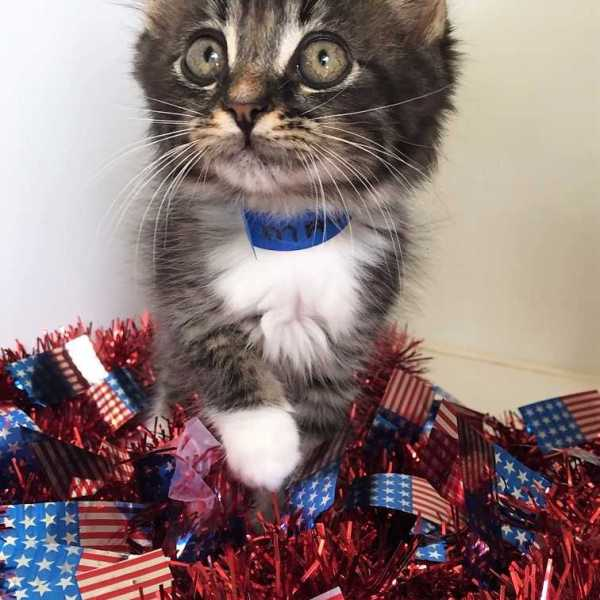 Zelda, a two month-old long-haired kitten, is one of the cats available for adoption at the Aiken County Animal Shelter_282181