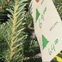 christmas tree shortage pic 2_345359