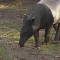Tapir 2_382913