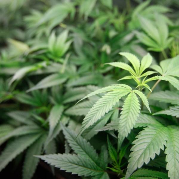 California_Marijuana_Borrowed_Time_23694-159532.jpg69712796