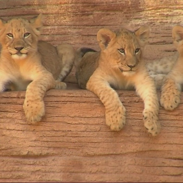 Wild Encounters: Baby Lions