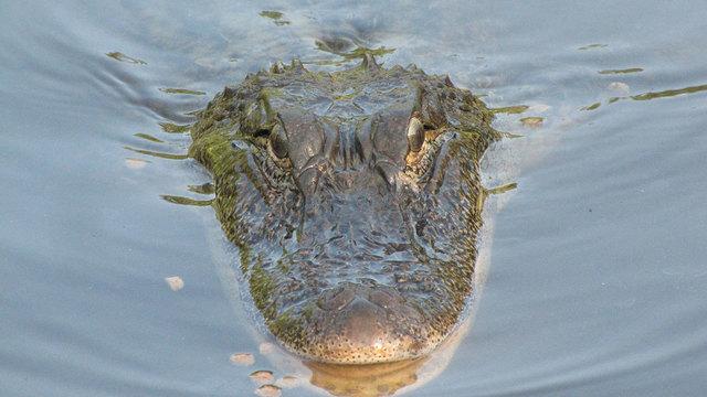 aligator-generic_30935731_ver1.0_640_360_1534786522189.jpg