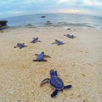 sea turtles wway_1556809148988.png.jpg