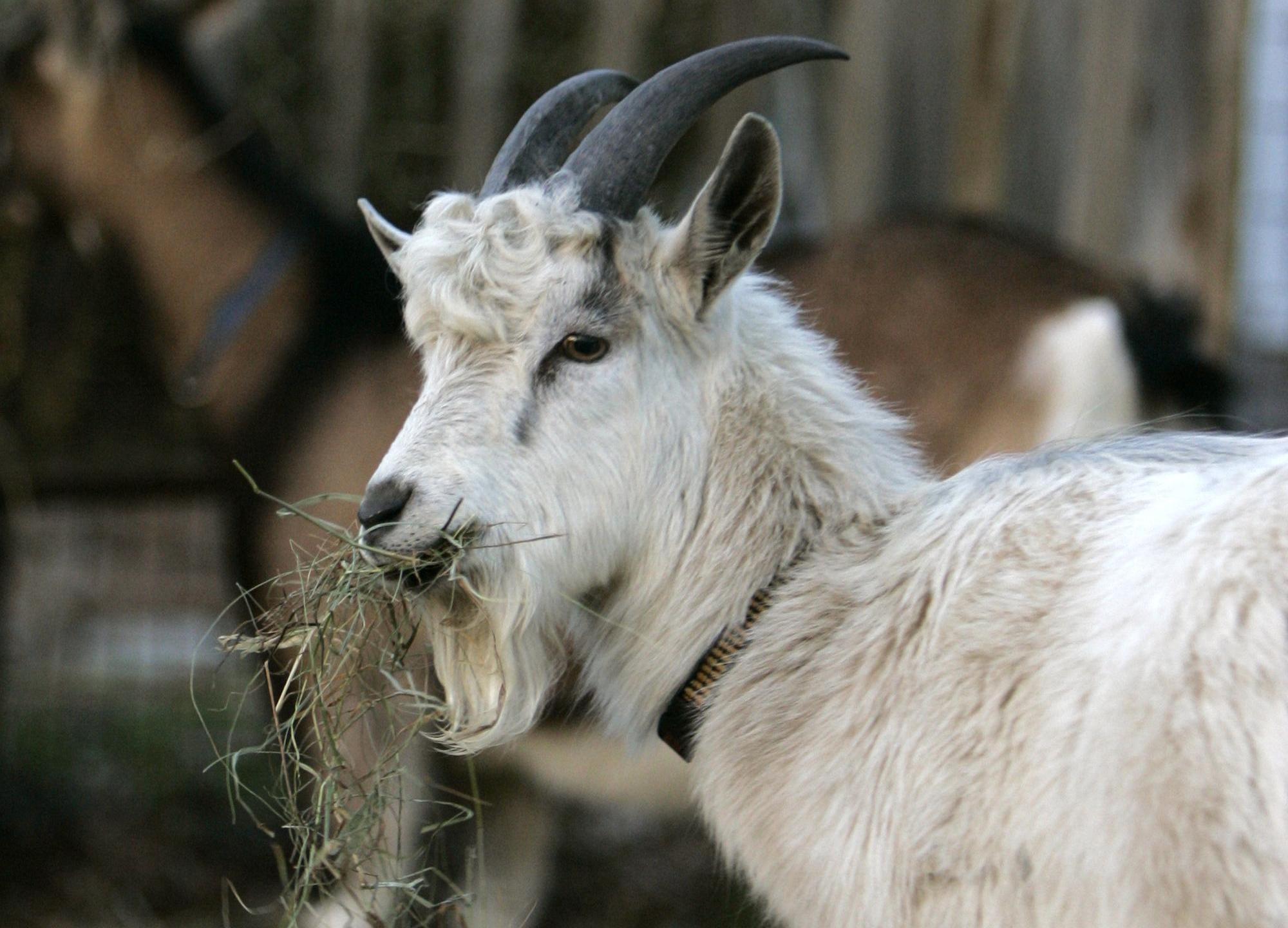 goat - generic